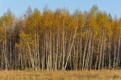 Bosque de los árboles de abedul con las hojas de otoño de oro Fotografía de archivo libre de regalías