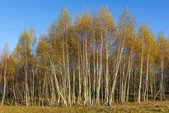 Bosque de los árboles de abedul con las hojas de otoño de oro Imagen de archivo libre de regalías