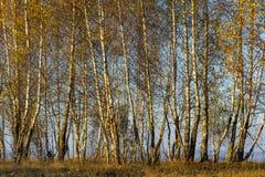 Bosque de los árboles de abedul con las hojas de otoño de oro Imagenes de archivo