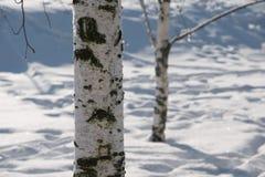 Bosque de los árboles de abedul en el resorte Imagenes de archivo