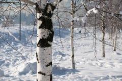 Bosque de los árboles de abedul en el resorte Imágenes de archivo libres de regalías
