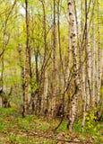 Bosque de los árboles de abedul Imagen de archivo libre de regalías
