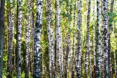 Bosque de los árboles de abedul en día de verano Foto de archivo