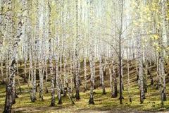 Bosque de los árboles de abedul en luz del sol brillante Fotografía de archivo
