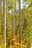 Bosque de los árboles de Aspen Foto de archivo libre de regalías