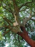 Bosque de los árboles de corcho Imagen de archivo