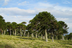 Bosque de los árboles de la araucaria Fotos de archivo
