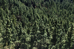 Bosque de los árboles de pino Imagen de archivo libre de regalías