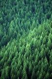 Bosque de los árboles de pino Imagenes de archivo