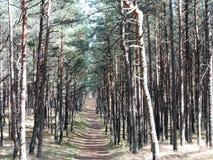 Bosque de los árboles de pino Foto de archivo libre de regalías