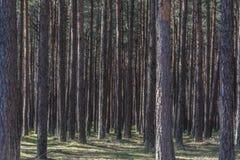 Bosque de los árboles de pino Fotos de archivo libres de regalías