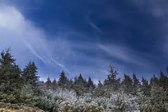 Bosque de los árboles de pino con el cielo azul Imagenes de archivo
