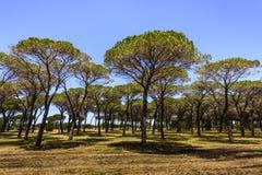 Bosque de los árboles de pino mediterráneos contra el cielo azul, Cerdeña, Italia imagen de archivo libre de regalías