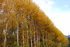 Bosque de los abedules amarillos del otoño Foto de archivo libre de regalías