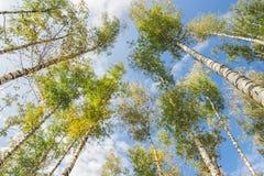 Bosque de los abedules del cielo azul Imagen de archivo libre de regalías