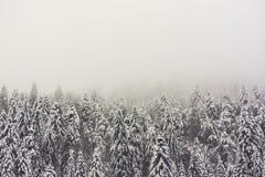 Bosque de los abetos en invierno con una atmósfera de niebla Fotos de archivo