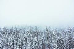 Bosque de los abetos en invierno en una atmósfera de niebla Fotos de archivo libres de regalías