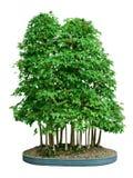 Bosque de los bonsais Foto de archivo