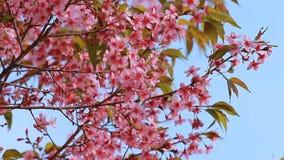 Bosque de los flores rosados de Sakura almacen de video