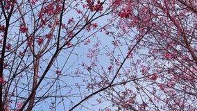 Bosque de los flores rosados de Sakura almacen de metraje de vídeo
