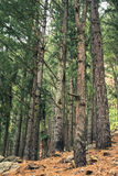Bosque de los pinos del árbol de Brown fotografía de archivo