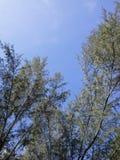 Bosque de los pinos en el cielo azul de Songkhla, Tailandia Imágenes de archivo libres de regalías