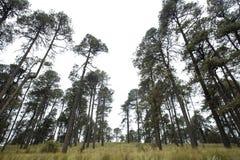 Bosque de México con los rastros y los árboles únicos Fotografía de archivo
