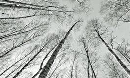 Bosque de madera de abedul Imagen de archivo libre de regalías