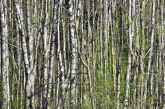 Bosque de madera de abedul Imágenes de archivo libres de regalías