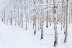 Bosque de madera de abedul cubierto en nieve Imágenes de archivo libres de regalías