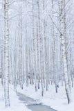 Bosque de madera de abedul cubierto en nieve Foto de archivo