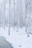 Bosque de madera de abedul cubierto en nieve Fotos de archivo libres de regalías
