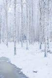 Bosque de madera de abedul cubierto en nieve Imagen de archivo