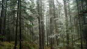 Bosque de Manali viejo Fotografía de archivo