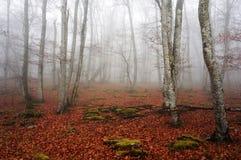 Bosque de niebla de la haya fotos de archivo libres de regalías
