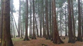 Bosque de niebla del thuja imágenes de archivo libres de regalías