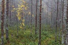 Bosque de niebla misterioso del pino con las hojas amarillas Foto de archivo
