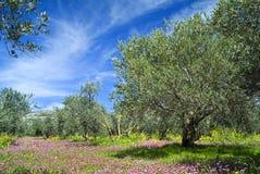 Bosque de Oilve imagem de stock