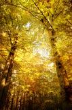 Bosque de oro Imagen de archivo