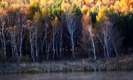 Bosque de oro del abedul Imagen de archivo
