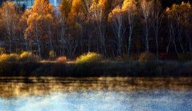 Bosque de oro del abedul Fotografía de archivo libre de regalías