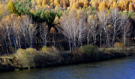 Bosque de oro del abedul Imagenes de archivo