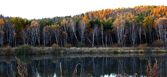 Bosque de oro del abedul Foto de archivo