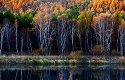 Bosque de oro del abedul Foto de archivo libre de regalías