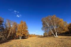 Bosque de oro del abedul en otoño Fotografía de archivo libre de regalías