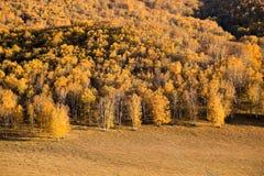 Bosque de oro del abedul en otoño Fotografía de archivo