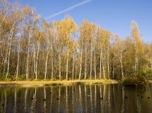 Bosque de oro del abedul, otoño Foto de archivo