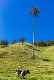 Bosque De Palma De Cera losu angeles Samaria San Felix Salamina Caldas Col obrazy royalty free