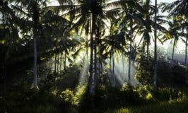 Bosque de palmeras en niebla de la mañana Imagen de archivo