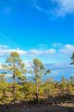 Bosque de pino Fotos de archivo